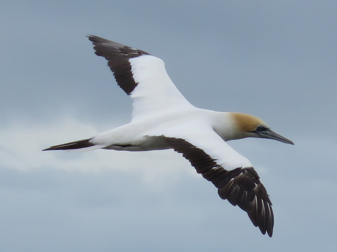 12FlyingGannet