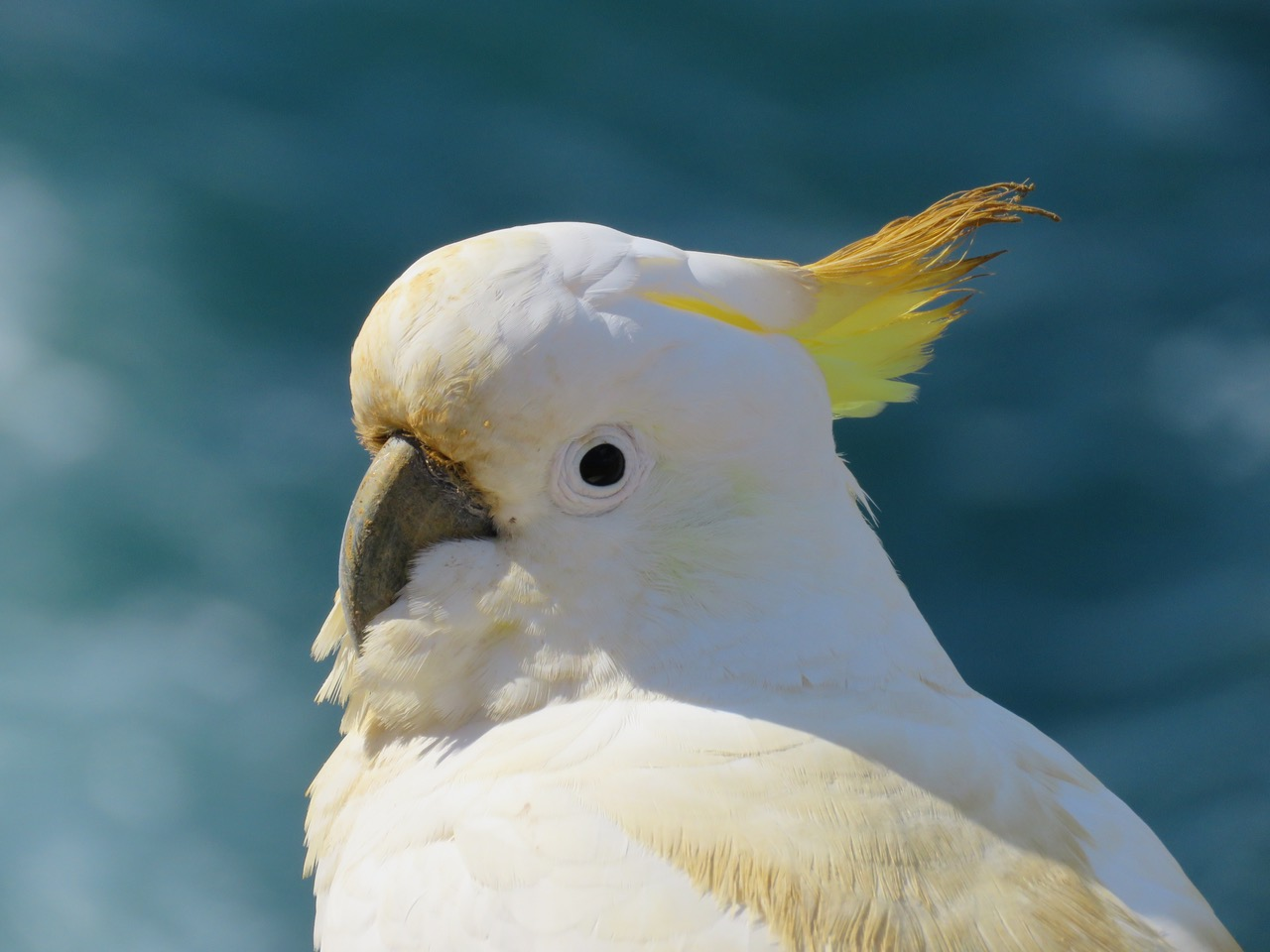19SulphurCrestedCockatoo