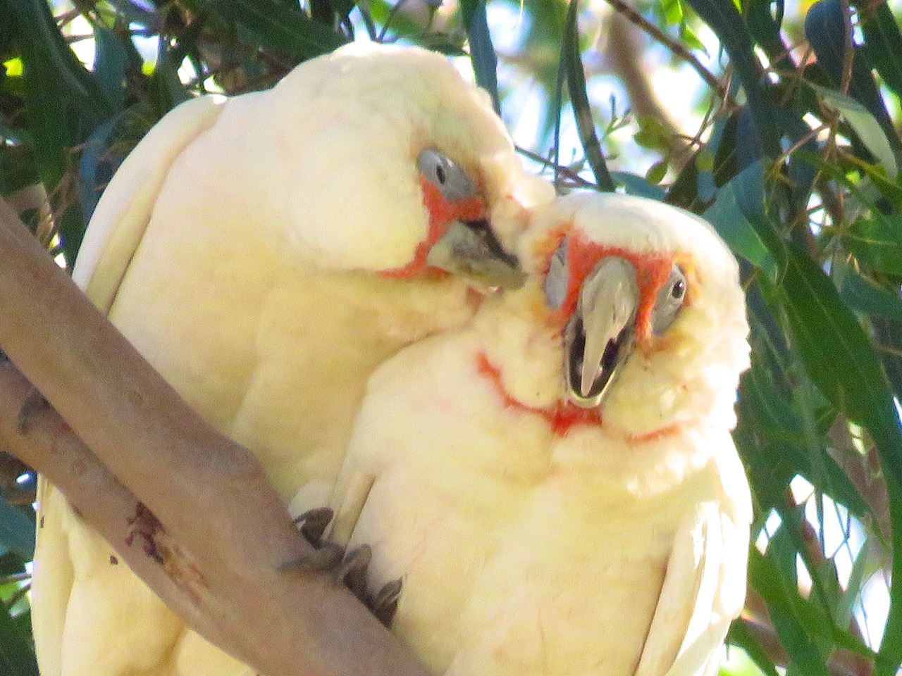1bAustralianCorellas