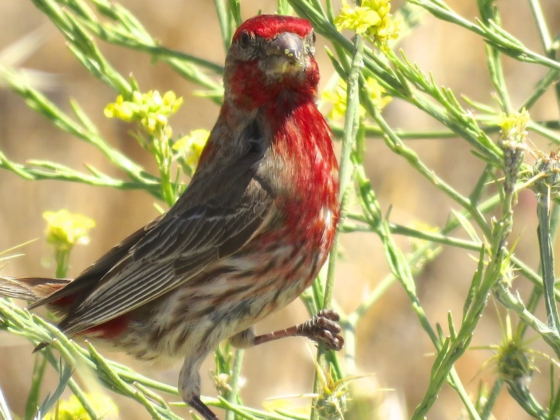 17MaleHouseFinch