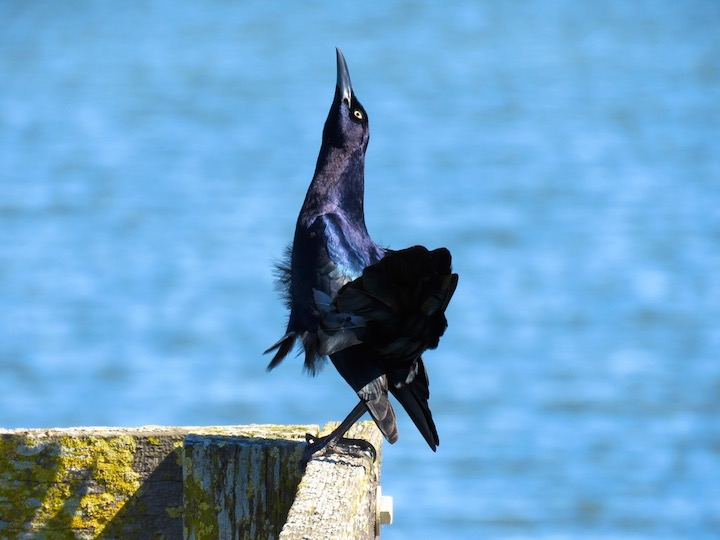 21Boat talied grackledancingtoattractafemale