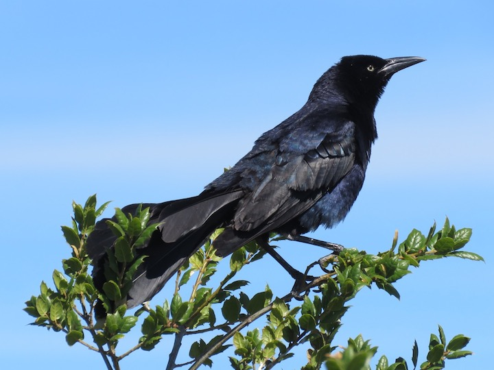 8GreatTailedGrackle