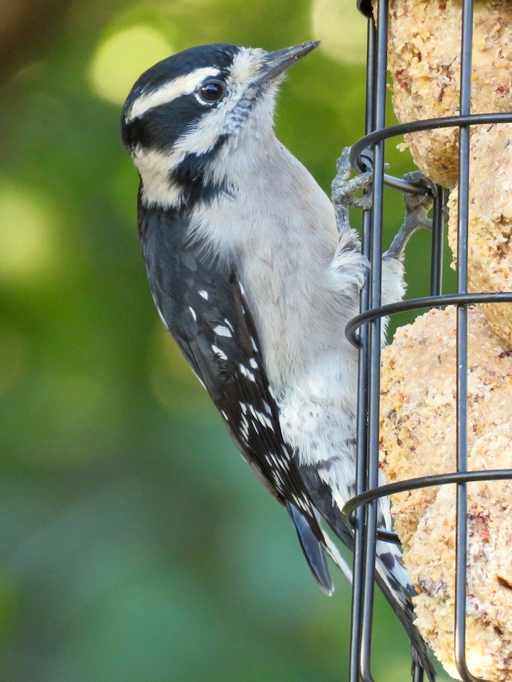 10DownyWoodpecker